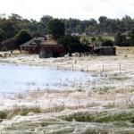 spider-fields-australian-floods