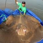 giant-freshwater-stingray