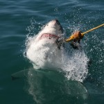 "Great white shark, ""say cheese"""
