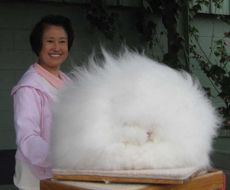 amazing-animals-Angora-Rabbit-7