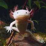 amazing-animals-Axolotl-10