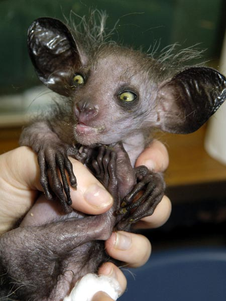 amazing-animals-Aye-aye-11