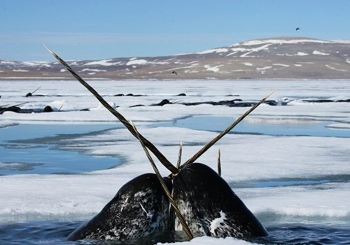 amazing-animals-Narwhal-13