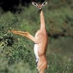 amazing-animals-The-Gerenuk-6