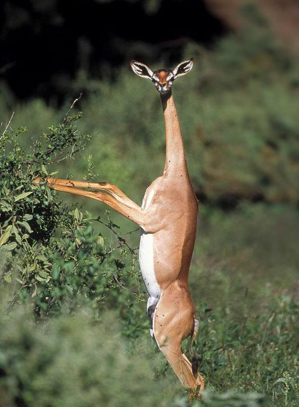 amazing-animals-The-Gerenuk-6
