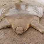 amazing-animals-giant-soft-shelled-turtle-5