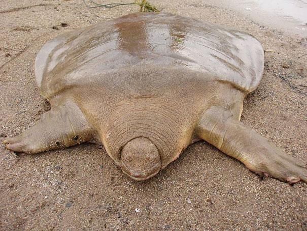 amazing-animals-giant-soft-shelled-turtle-5