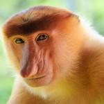 amazing-animals-proboscis-monkey-9