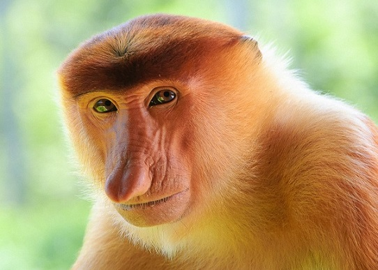 amazing-animals-proboscis-monkey-9
