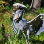 amazing-animals-shoebill-stork-14