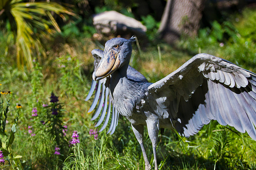 amazing-animals-shoebill-stork-14
