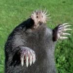 amazing-animals-star-nosed-mole-8