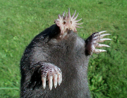amazing-animals-star-nosed-mole-8