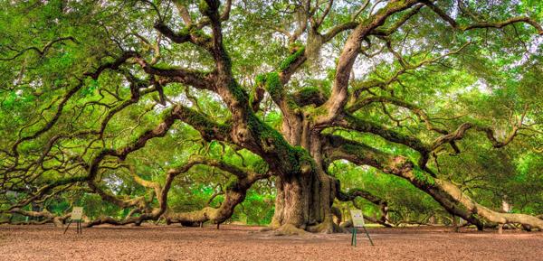 amazing-trees-angel-souther-live-oak8