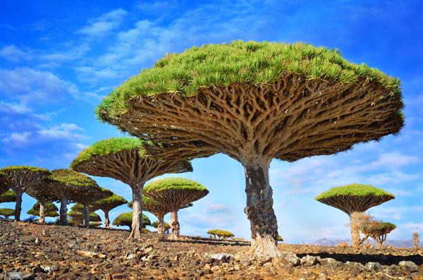 amazing-trees-dragon-blood7