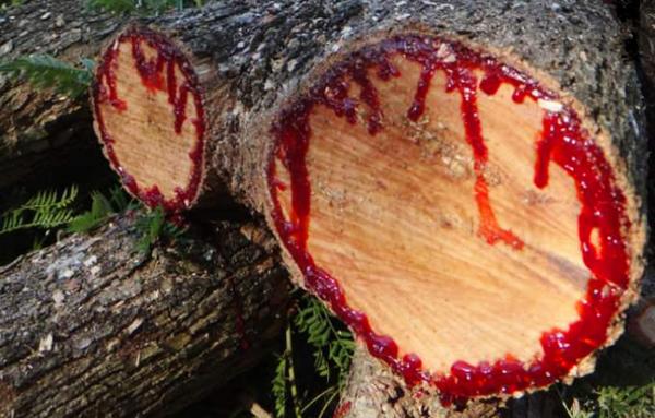 amazing-trees-dragons-blood7
