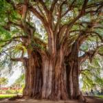 El Arbol del Tule – montezuma-cypress