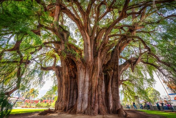 El Arbol del Tule - montezuma-cypress