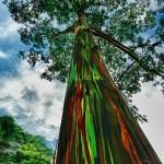 amazing-trees-rainbow-eucalyptus6