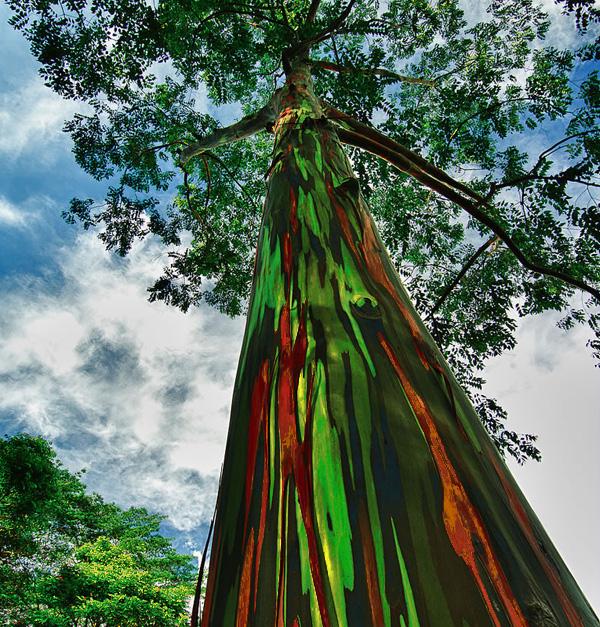amazing-trees-rainbow-eucalyptus6
