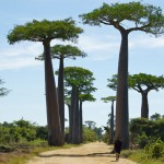 craziest-trees-african-baobab-tree5