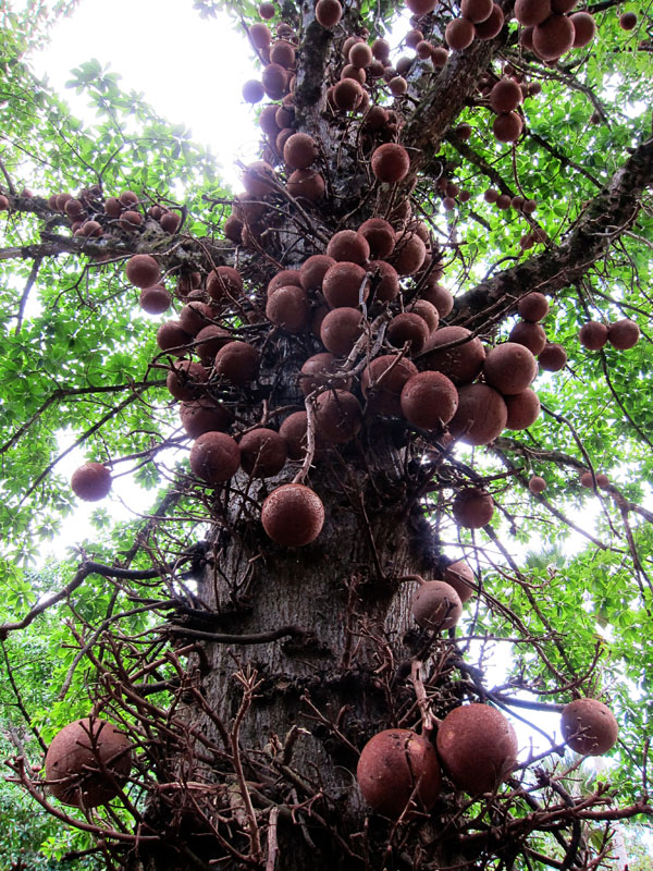 craziest-trees-cannonball_tree1