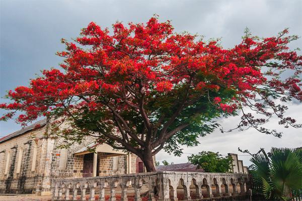 craziest-trees-flamboyant_tree0