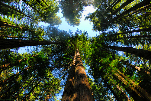 craziest-trees-giant-redwoods3