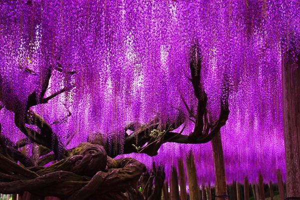craziest-trees-japanese-wisteria-4
