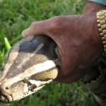 florida-police-capture-python