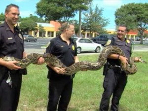 floriday-burmese_python_captured