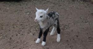 geep-born-in-arizona