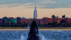A whale surfaces with the Empire State Building in the background. ARTIE RASLICH/CBS NEWS