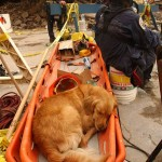 last-surviving-rescue-dog-from-911-2