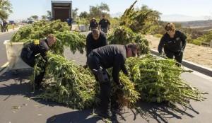 thousands-of-marijuana-plants-destroyed-in-bakersfield