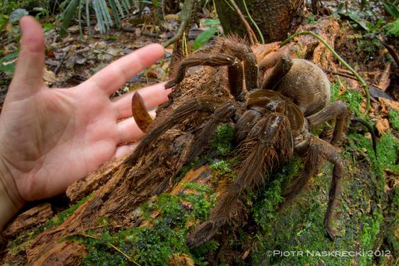 biggest-spider-in-the-world-1