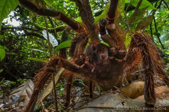 biggest-spider-in-the-world-2