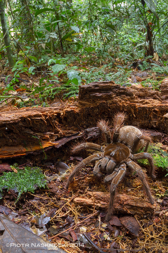 biggest-spider-in-the-world-3