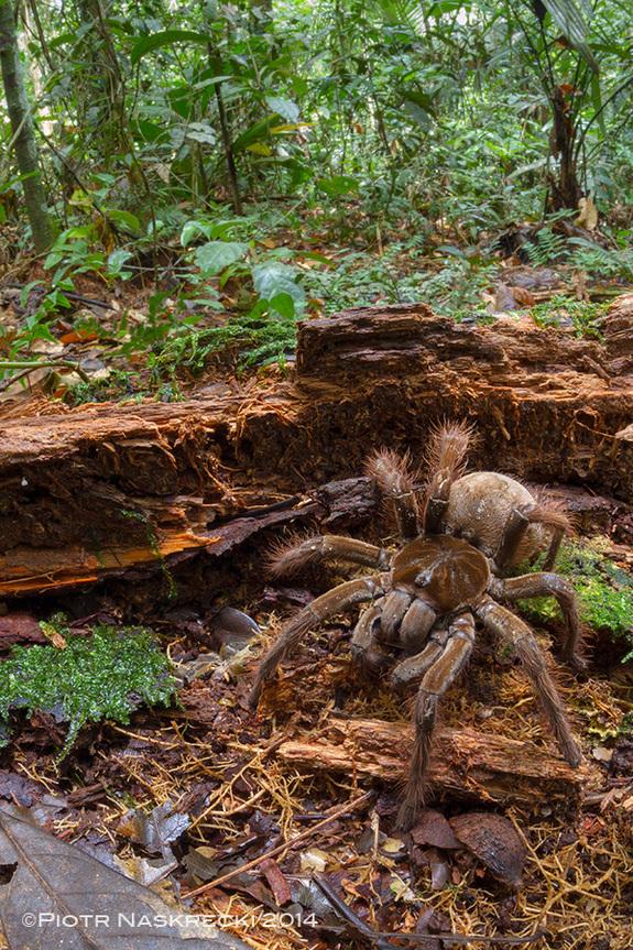 biggest-spider-in-the-world-3