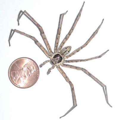 biggest-spider-in-the-world-6