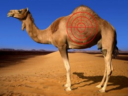 hunting-camels-is-illigal