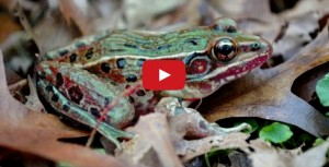 new-frog-species-discovered-in-new-york-city
