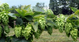 Hops-remedy-for-anxiety
