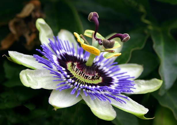 passion_flower_natural-anxiety-cures
