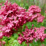 red-valerian-cure-for-anxiety