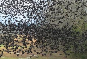 murder of crows in bluefield