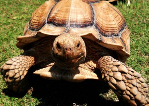 African Spur Thigh Tortoise found in Savannah