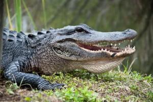 alligator in savannah