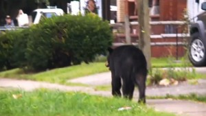 bear in bluefield
