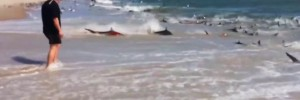 Shocking Video of Hundreds of Sharks in Feeding Frenzy on North Carolina Beach